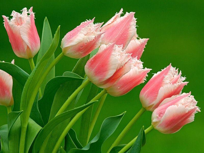 Цветы тюльпаны - Цветы