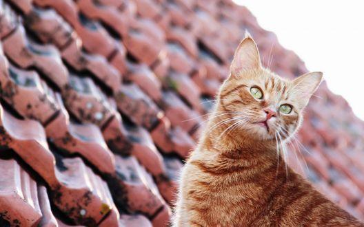 Картинки по запросу рыжий кот на крыше