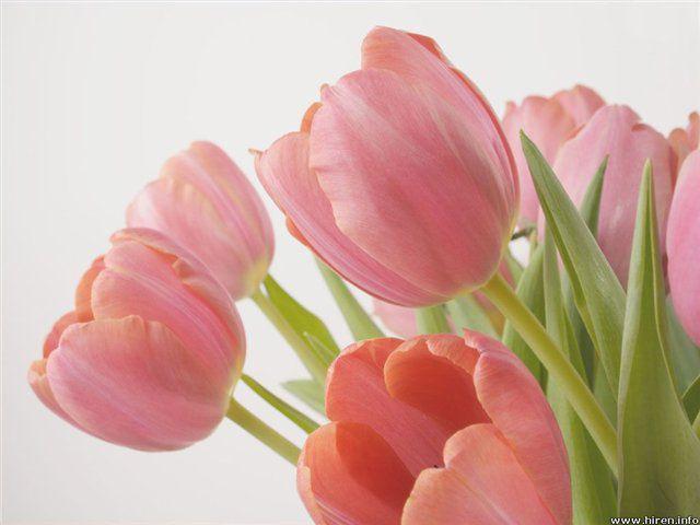 Обои hq Букет розовых тюльпанов 1600 x 1200 на рабочий стол, high quality обои, 3d обои, фоны, заставки, картинки, wallpapers