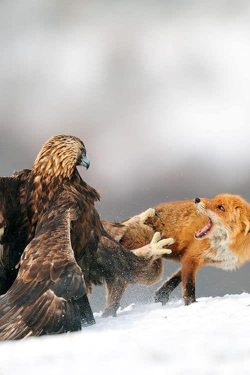 картинки орел и лиса советы созданию гармоничной