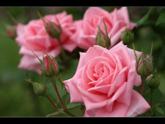 Розовые розы.Цветы