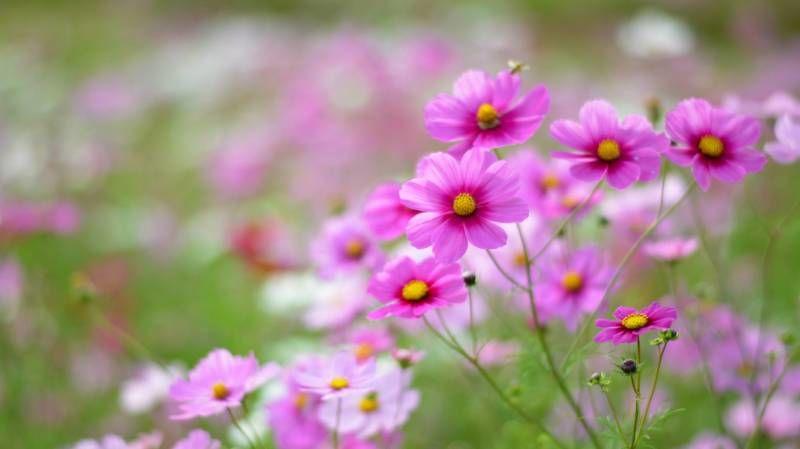 Космея - Цветы