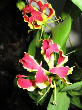 Комнатный цветок Глориоза
