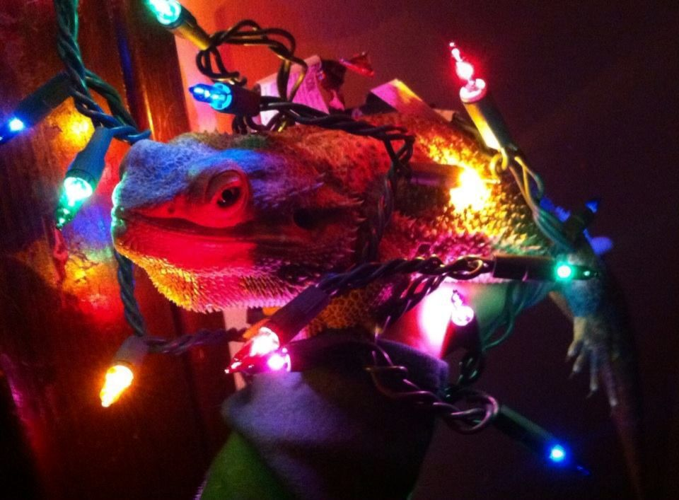 Bearded Dragons Make Good Christmas Decorations by TikkiLink