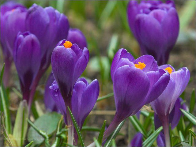 Фото цветов крокусы