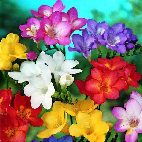 гороскоп, цветы, цветочный, осень, октябрь, ноябрь, фрезия, характер